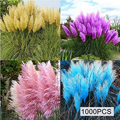 Earth Seeds Co 1000 Pcs Cortaderia selloana Seeds Hardy Perennial Pampas Grass from New Zealand, Huge Silky Plumes for Garden or Drying : Garden & Outdoor