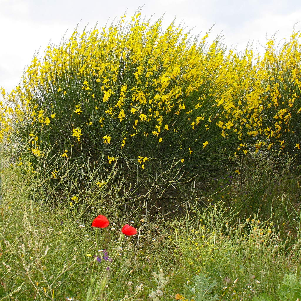 35 Seeds of Spartium junceum, Spanish Broom by IM WAODE (Image #2)
