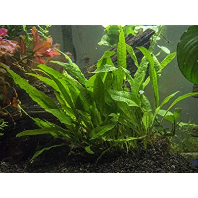Aquatic Arts Java Fern
