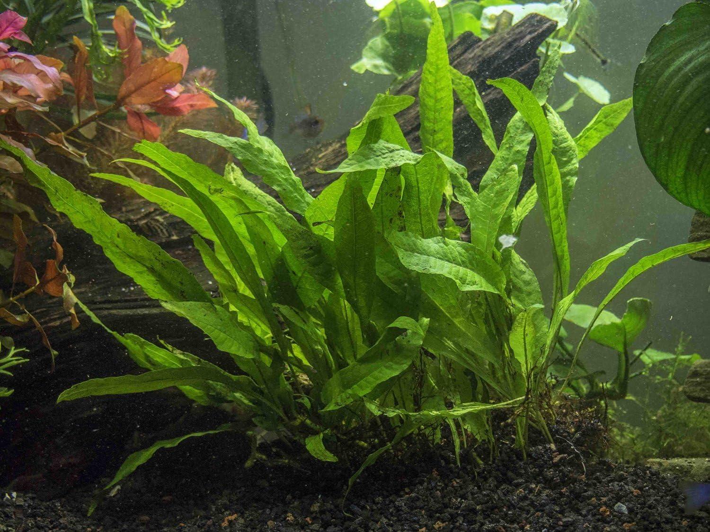 Java Fern (Microsorum pteropus) – Alfombrilla Enorme de 7,6 x 12,7 ...