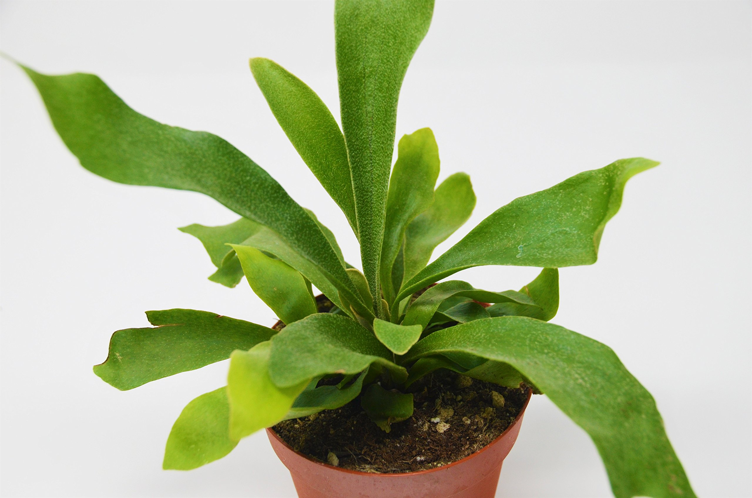 Staghorn Fern - Live Plant - FREE Care Guide - 4'' Pot