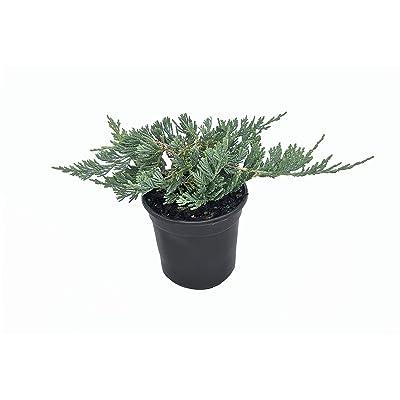 Blue Rug Juniper - 15 Live 4 Inch Plants - Juniperus Horizontalis 'Wiltonii' - Drought Tolerant Cold Hardy Evergreen : Garden & Outdoor