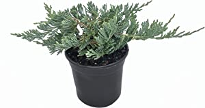 """Blue Rug Juniper - 30 Live Plants - 4"""" Container Low Maintenance Evergreen Ground Cover"""