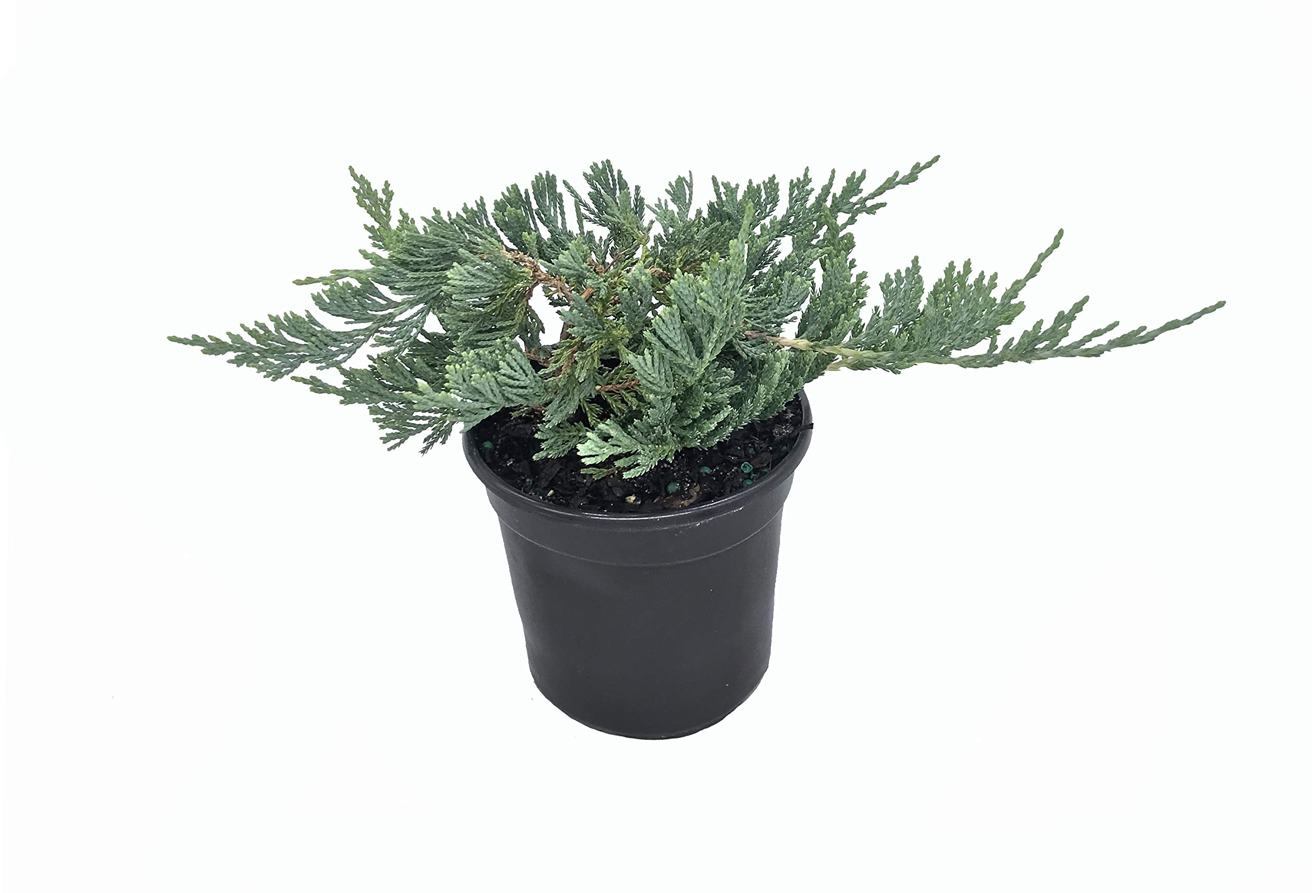 Blue Rug Juniper - 3 Fully Rooted 4'' Plants - Low Maintenance Evergreen Ground Cover - Wiltonii