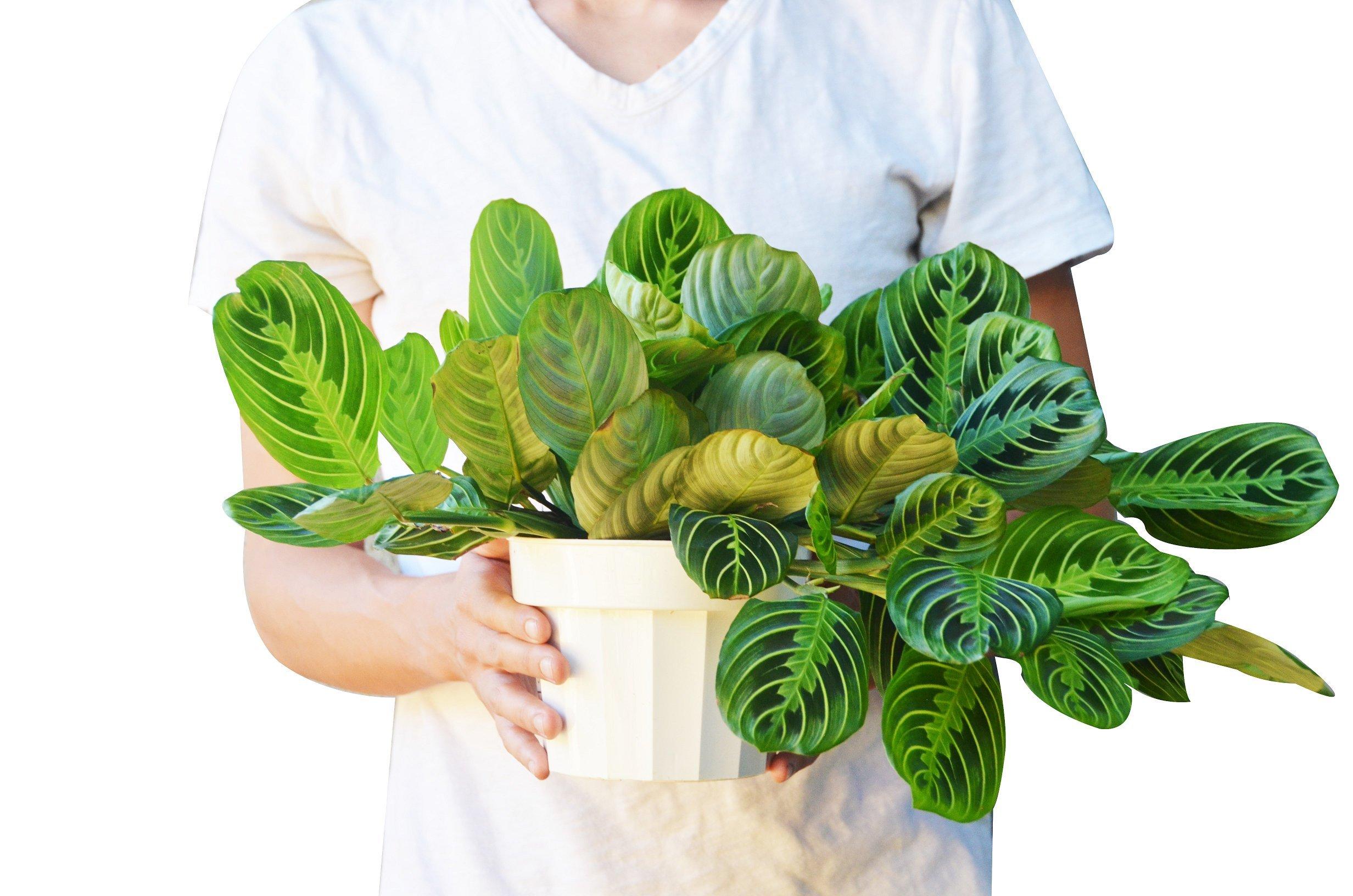 Maranta 'Lemon Lime' in 6'' Pot - Prayer Plant - Live House Plant - FREE Care Guide