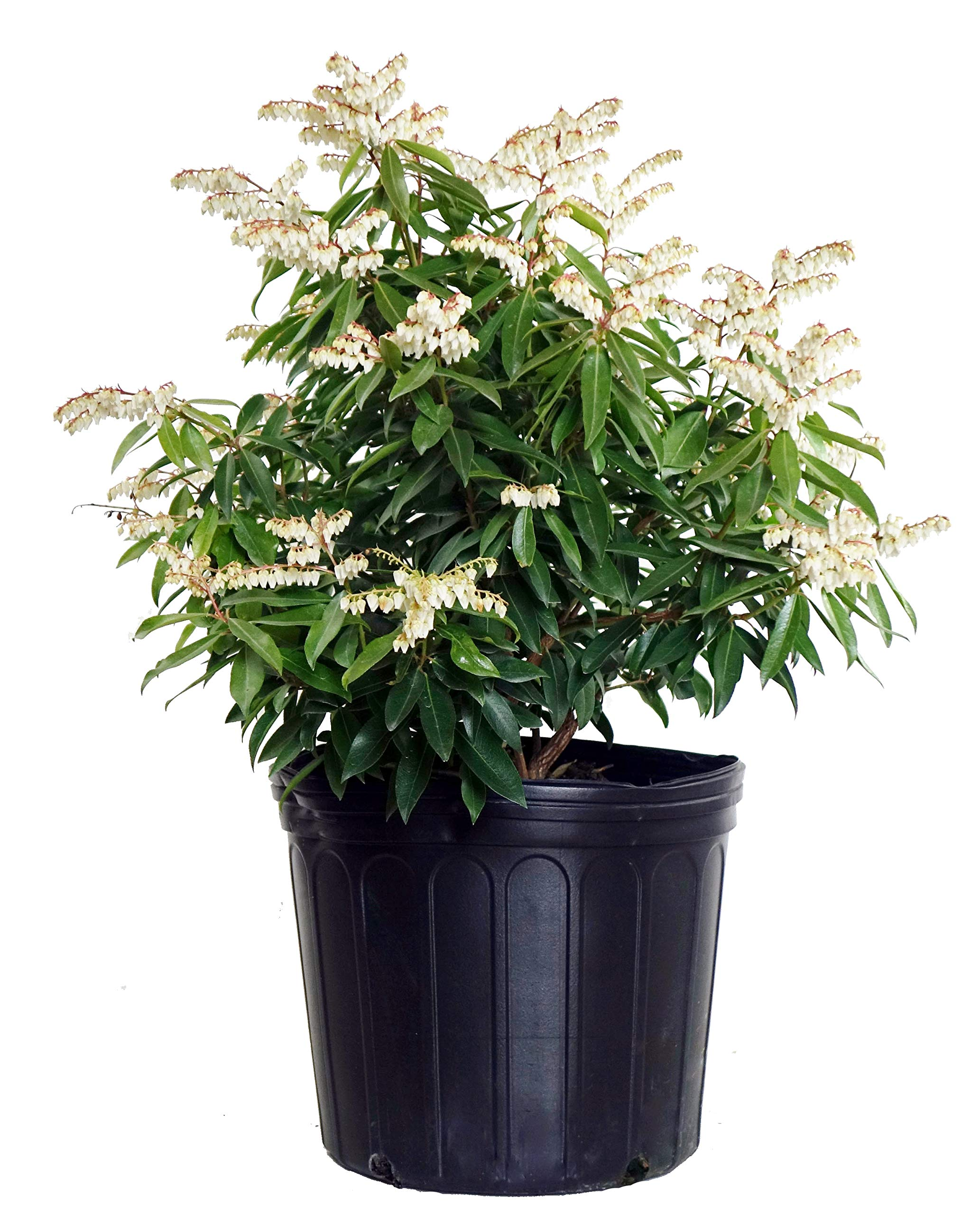 Pieris jap. 'Brouwer's Beauty' (Brouwers Beauty Andromeda) Evergreen, #3 - Size Container by Green Promise Farms