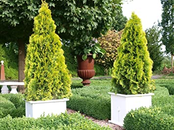 Thuja Golden Smaragd Occidentalis Lebensbaum Winterhart Thujen