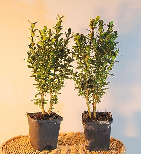 Buxus Figura palomas Juego completo incluye 2 Boj Former Plantas ...