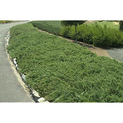 Hughes Juniper Qty 60 Live Plants Groundcover : Garden & Outdoor
