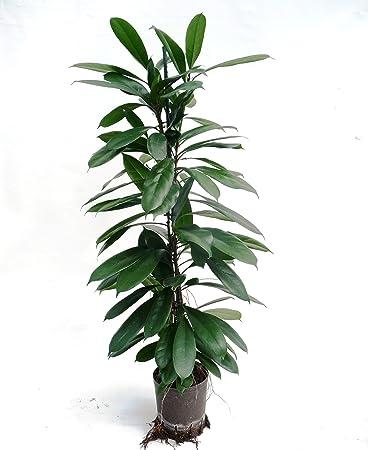 Schatten Zimmerpflanzen ficus benjamini 100 120 cm in hydrokultur 18 19er kulturtopf