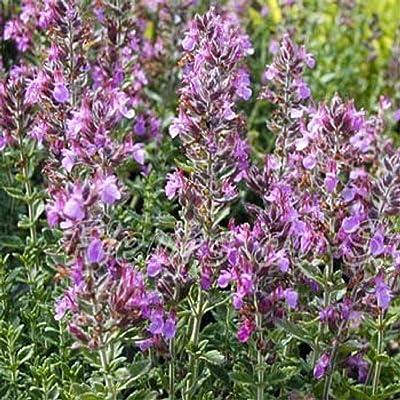 AchmadAnam - Seeds - Germander HERB Seeds : Garden & Outdoor