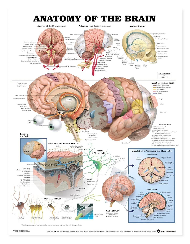 Amazon.com: AKI Human Brain Anatomy Poster Anatomical Chart 20 x 26 ...