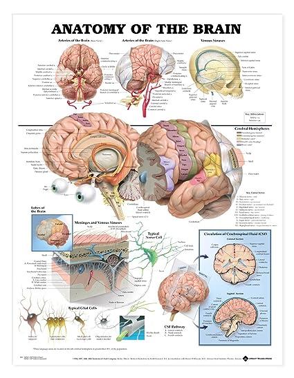 Amazon Aki Human Brain Anatomy Poster Anatomical Chart 20 X 26