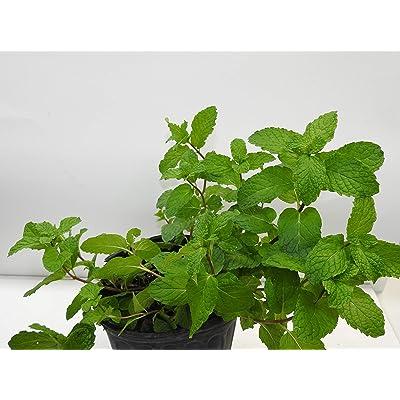Menta o hierba Buena/Mints Full Plant with Root : Garden & Outdoor