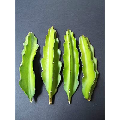 Hylocereus undatus grafting stock booster speed cactus grafted cacti 10 cuttings : Garden & Outdoor