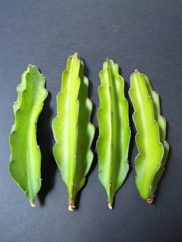 x1 PITAYA rooted cutting 15 cm live plant Dragon Fruit Hylocereus Fresh cacti