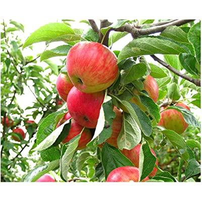 (5 Gallon) Gala Apple Tree, Fruit are Medium to Large in Size, Golden Skin with red Striping, White Flesh, Crisp, Good Flavor, and ripens mid-Season. : Garden & Outdoor