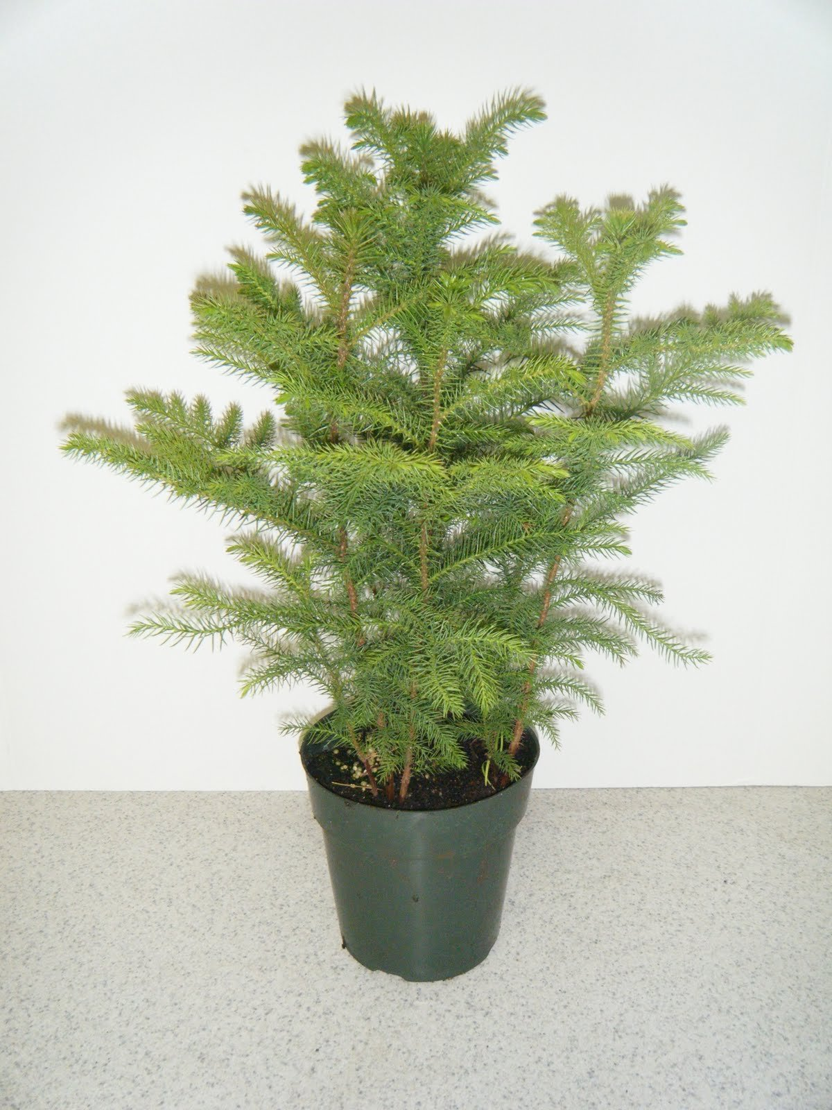 Norfolk Island Pine, 14'' 5 to 6' tall
