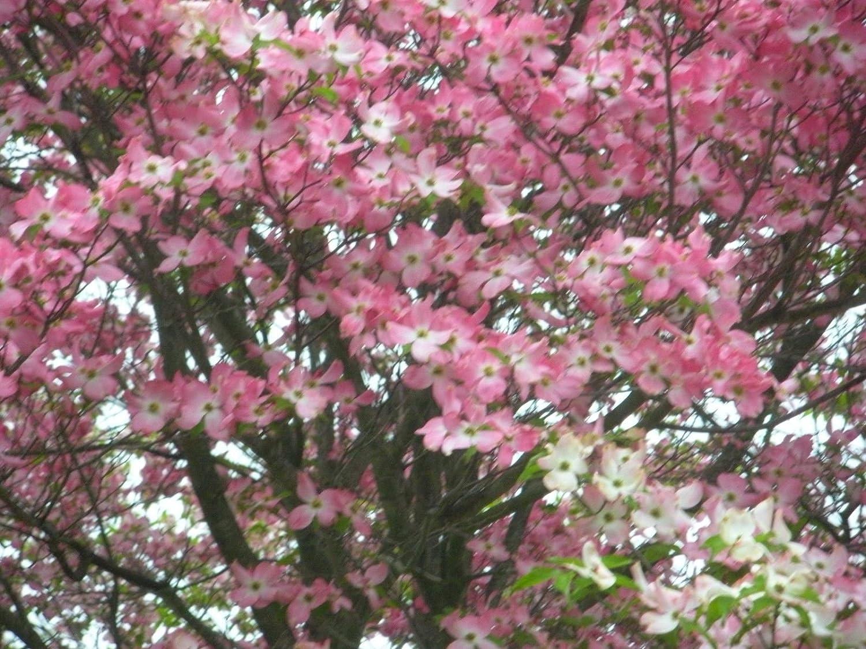 Amazon 1 Pink Dogwood Tree 8 16 Tall Garden Outdoor