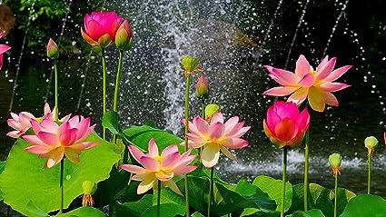 Bee Garden Organic Pink Lotus Flower Seeds Pack Of 10 Seeds