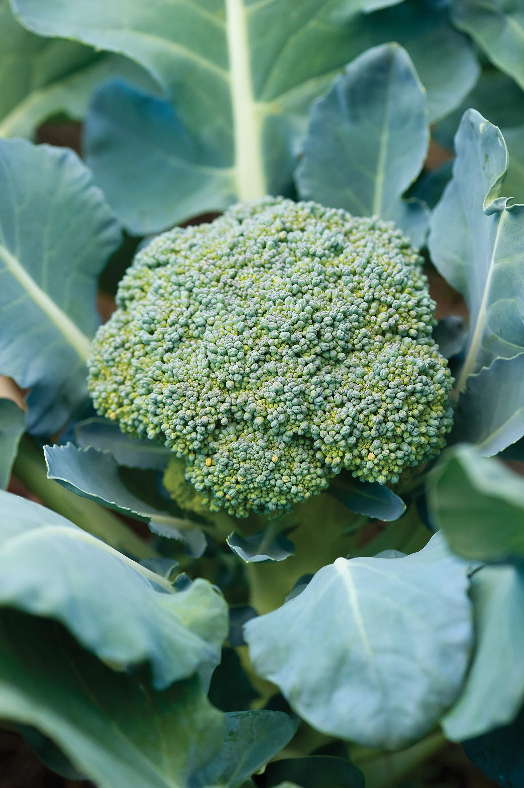 Burpee Broccoli 'Sun King' Hybrid, 6 Plants for Fall Planting