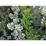 6 x HEBE IN 9CM POTS HARDY EVERGREEN QUALITY SHRUBS MIXED HEBES