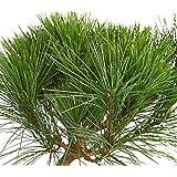 """Dehner Zwerg-Seidenkiefer""""Minima"""", lange grüne Nadeln, ca. 20-25 cm, Nadelgehölz"""