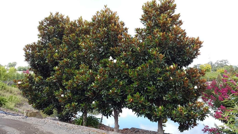 Amazon Com Magnolia Grandiflora Little Gem Southern Magnolia