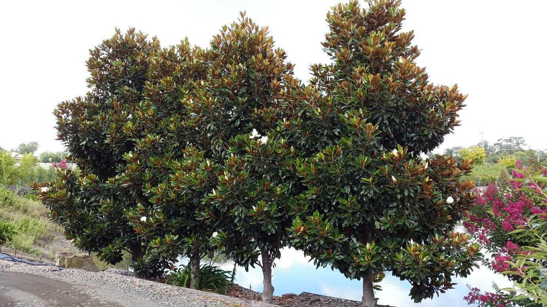 Amazoncom Magnolia Grandiflora Little Gem Southern Magnolia Seeds