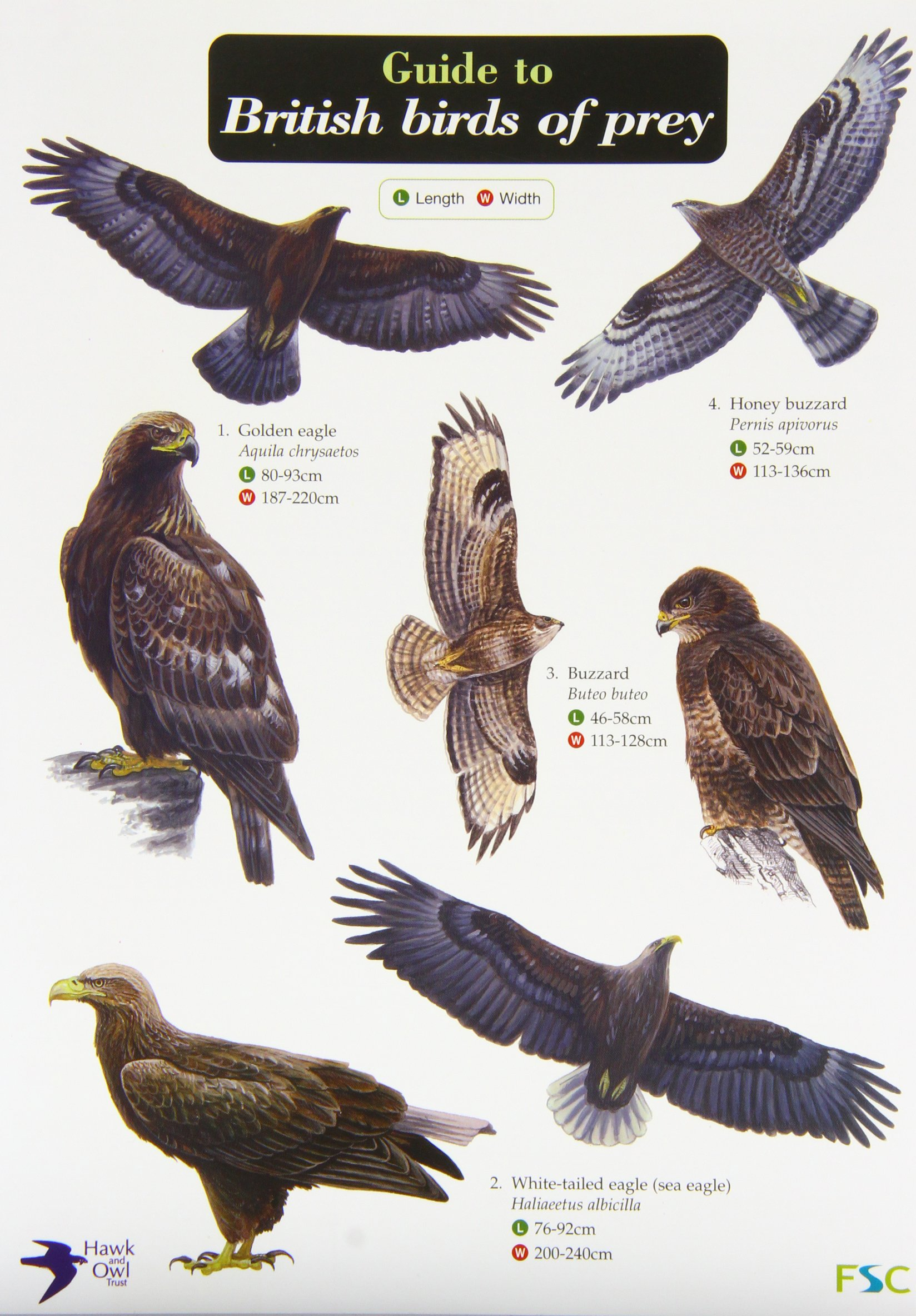 Guide To British Birds Of Prey Chart Amazon Co Uk 9781851532827 Books
