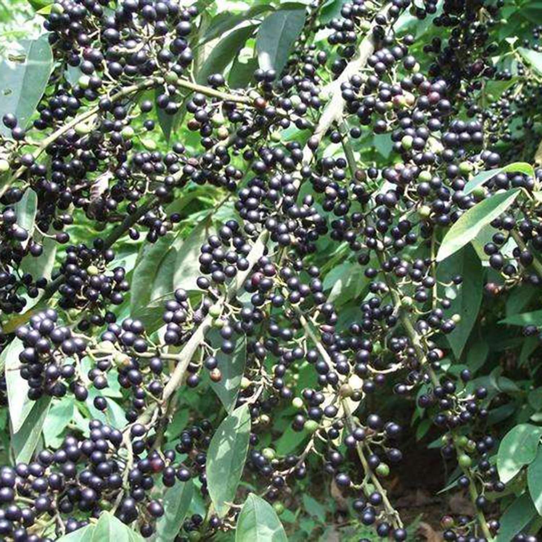 Schwarzer Pfeffer Bergpfeffer 20 Samen Verschiedene Sorten Gesund Anzuchtanleitung Nat/ürliche