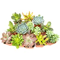 Deals on 12 Pack Succulent Plants Fully Rooted in Planter Pots