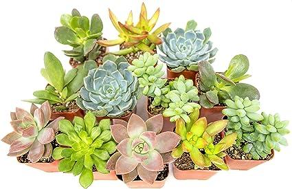 3-2.5 inch succulents in terracotta pots  Cactus Cacti Real Succulent Live Plant