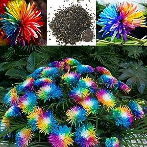 100PCs Rainbow Chrysanthemum Seeds Easy Grow Colorful Miniature Tree Flower Planting Seeds Blumen Garden Potted Plants Decor