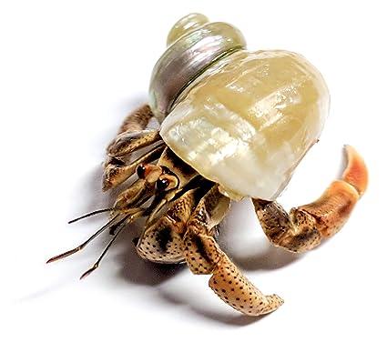 amazon com 1 live hermit crab shipped now purple pincher land crab