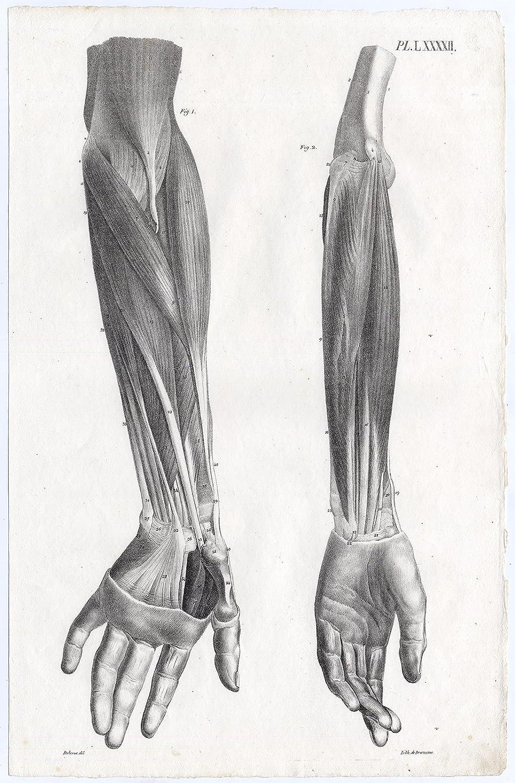 Amazon Antique Print Human Anatomy Muscles Arm Hand Lxxxxii