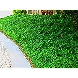 Ornamental Peanut Grass Qty 20 Live Fully Rooted Plants Arachis Glabrata