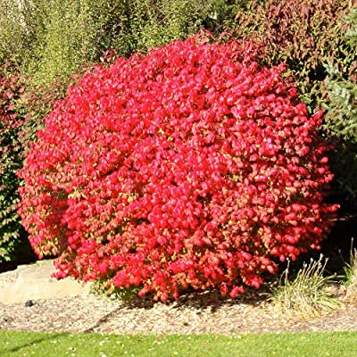 Burning Bush Plant Live Shrub   Blue-Green Colored Leaves   Summer Turns into Fiery red Autumn Landscape, 1 Gallon : Garden & Outdoor