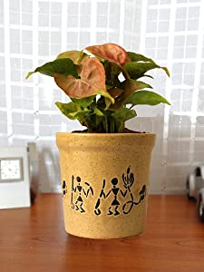 Rolling Nature Good Luck Air Purifying Live Pink Syngonium Plant in Brown Jar Aroez Ceramic Pot