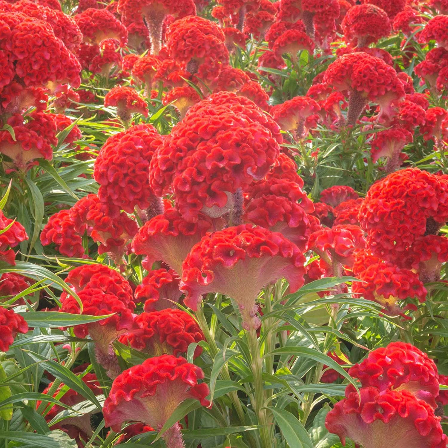 Amazon Crested Prestige Scarlet Celosia Seeds 1000 Seeds