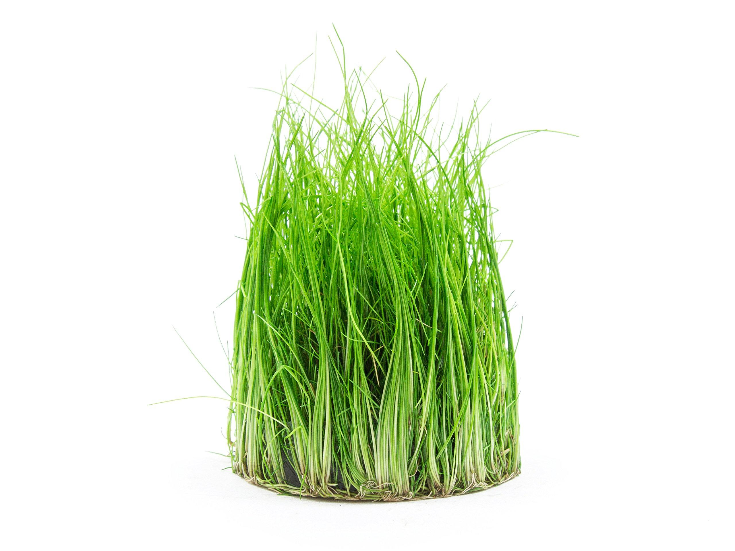 Aquatic Arts Dwarf Hairgrass Tissue Culture – Live Aquarium Plant by