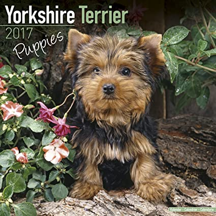 yorky dog pictures