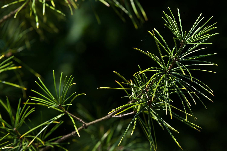 Sciadopitys verticillata verschiedene Gr/ö/ßen 40+cm - 3Ltr. Japanische Schirmtanne