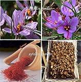 10 Saffron Bulbs Crocus Sativus Flowers Corms Original Turkey Bulbs Plant Bulbs