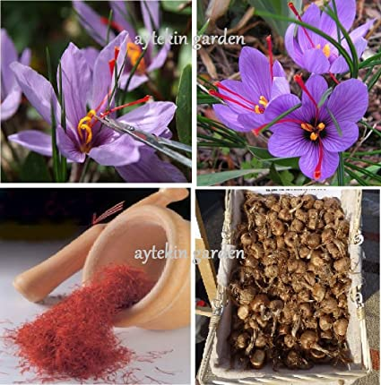 4ee28a638e94 Amazon.com   PRE-Order 2019 Saffron Bulbs 16 Pcs - Get Beautifull Flowers  and Your Own Spice (Dispatch in June from Our Organic Garden) Crocus Sativus  Corms ...