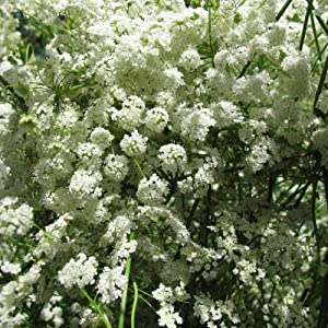 Anise Herb Seeds 1 OZ ~12,000 Seeds - Non-GMO, Heirloom Culinary Herb Gardening & Herbal Tea Seeds - Sustainable Seed Company