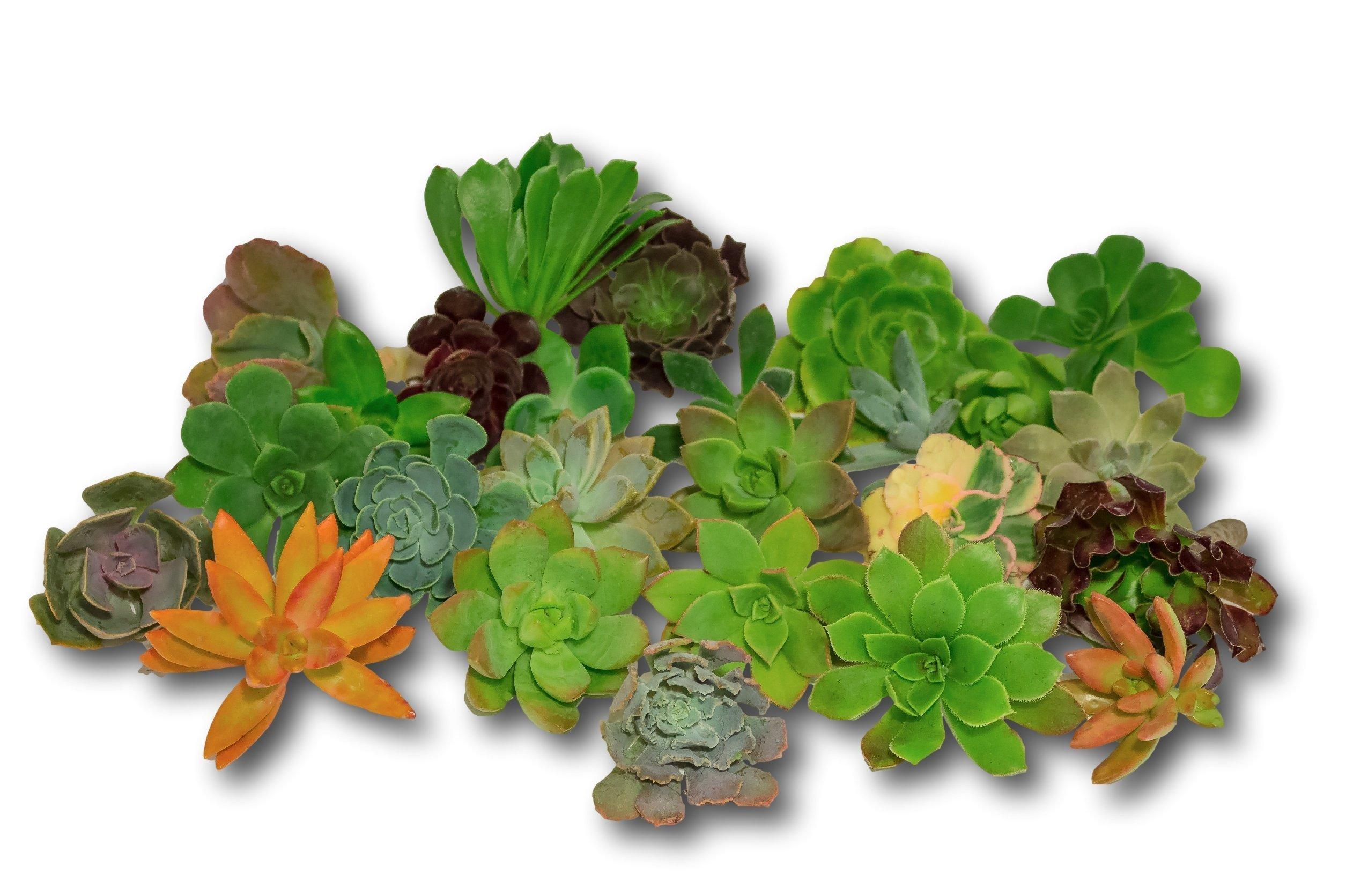 Fat Plants San Diego Gorgeous All Rosette Succulent Cuttings (25)