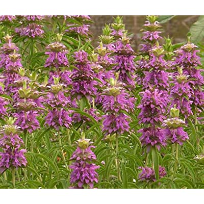 100 Lemon Mint Bee Balm 100 Seeds Fragrant Herb!! - Deer Resistant!.Monarda Citriodora. Annual : Garden & Outdoor