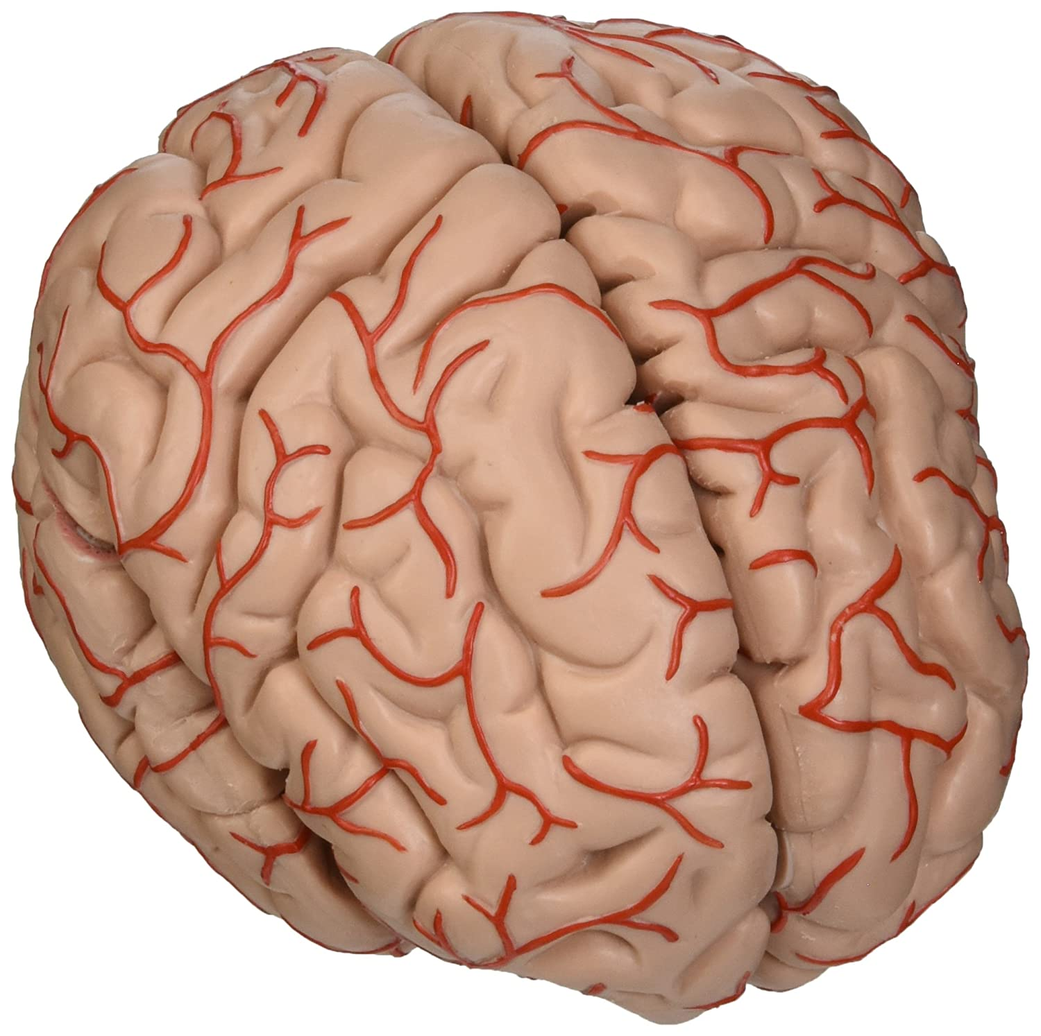 3B Scientific C20 9 Part Brain with Arteries Model, 5.9\