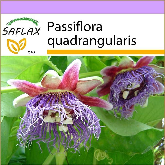 1 opinioni per SAFLAX- Granadilla- 12 semi- Passiflora quadrangularis